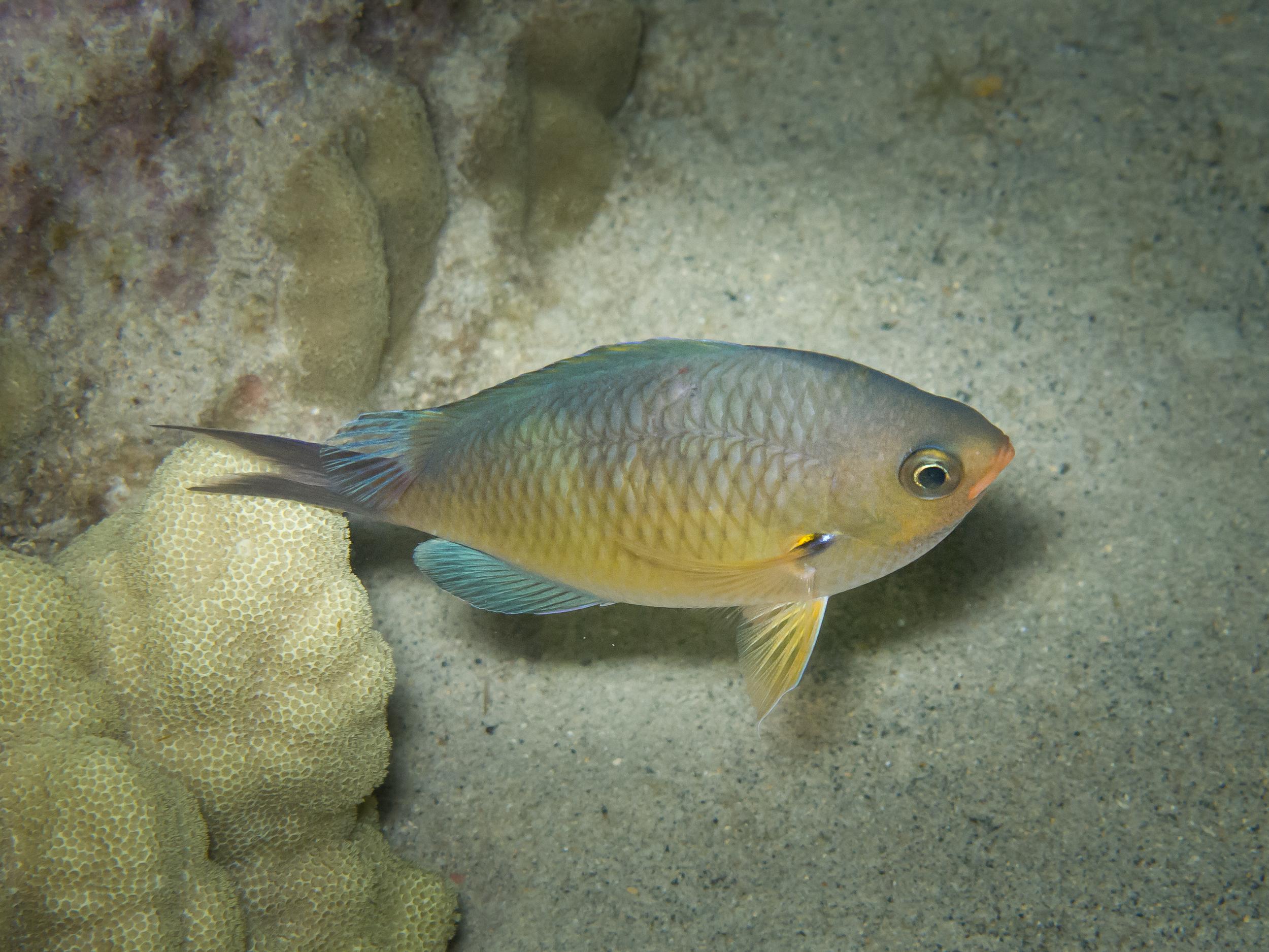 Oval Chromis Damselfish_20100917.jpg