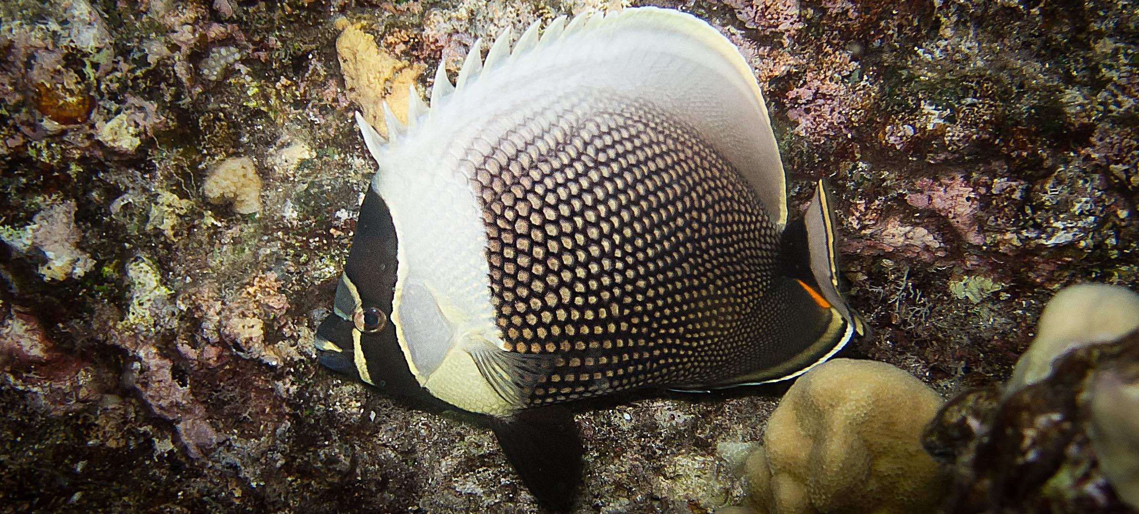Reticulated Butterflyfish_20110918(Crop).jpg