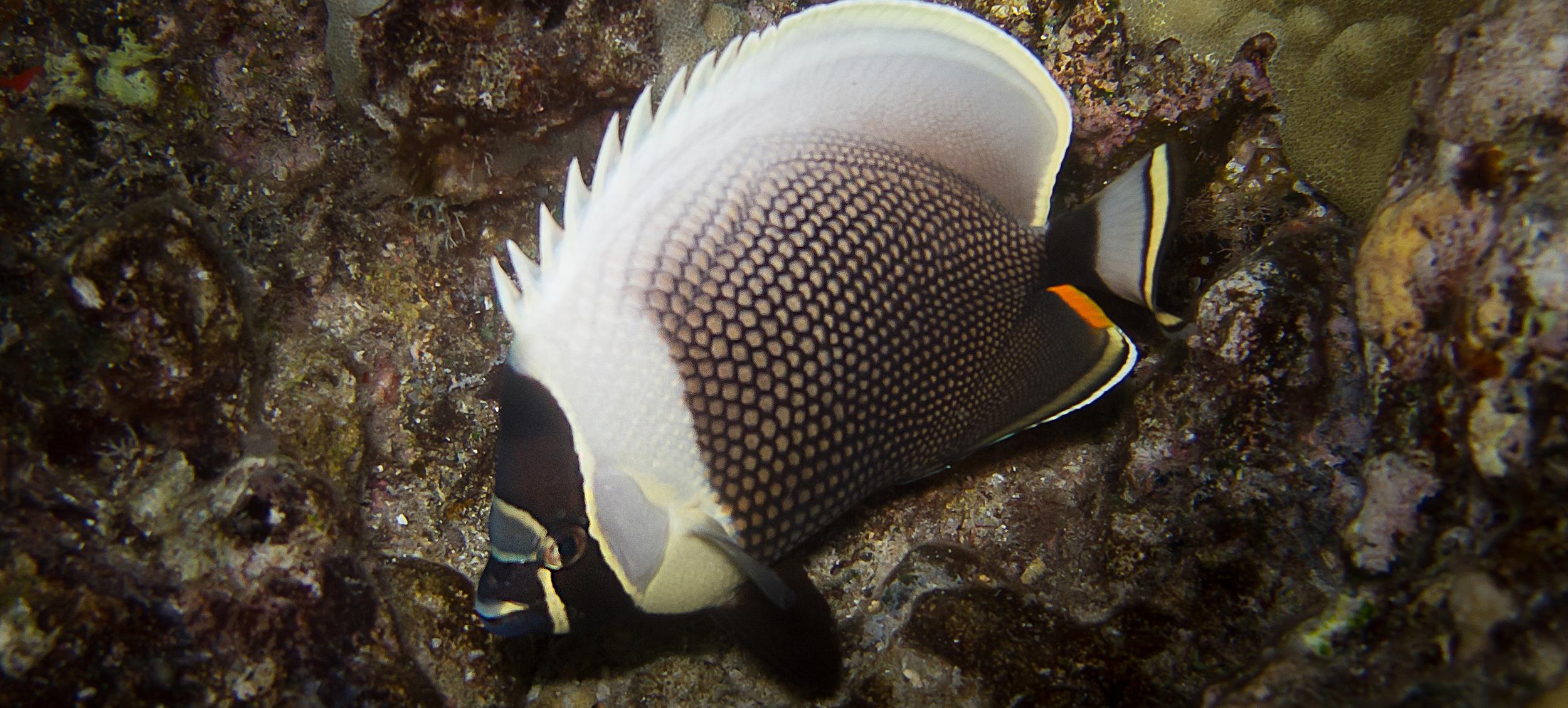 Reticulated Butterflyfish_20110918-2(Crop).jpg