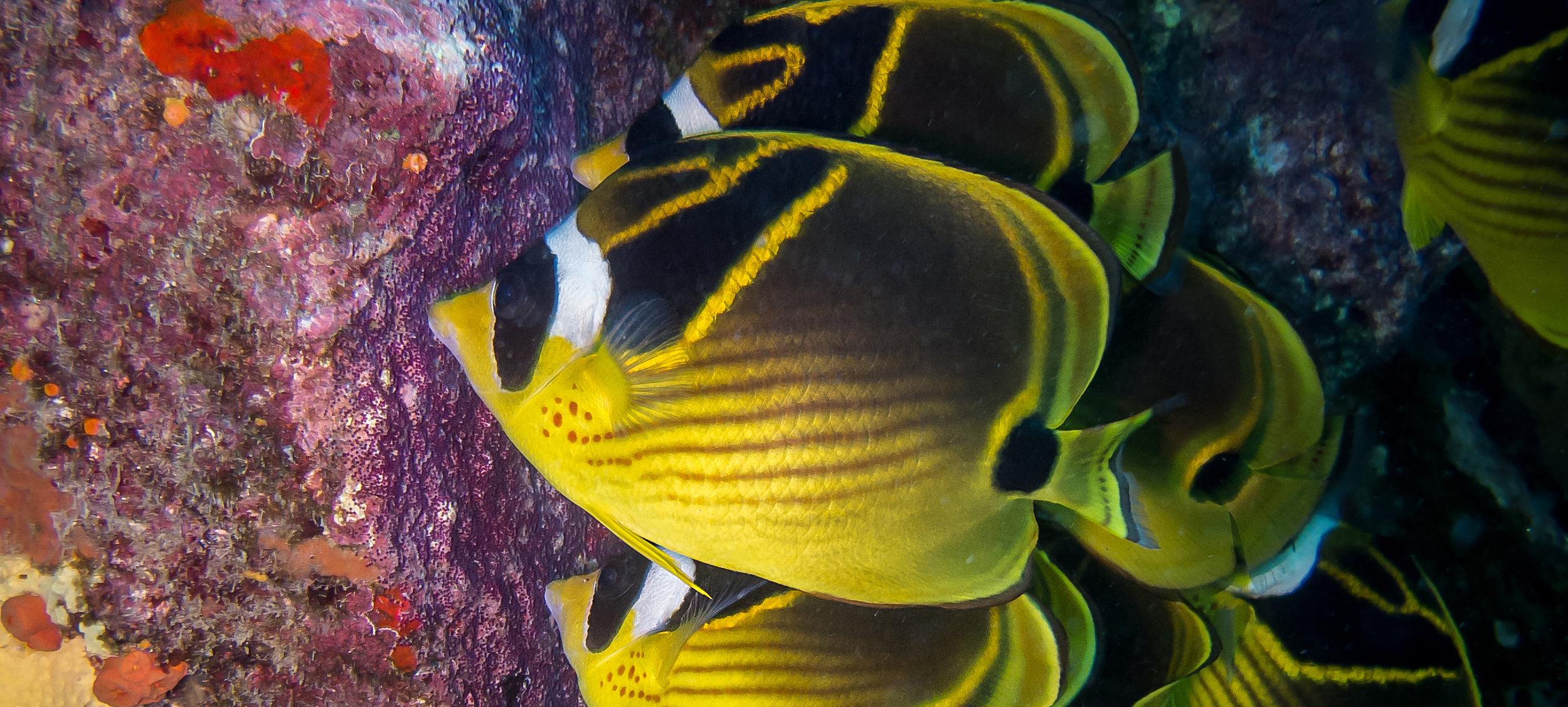 Racoon Butterflyfish_20130819(Crop).jpg
