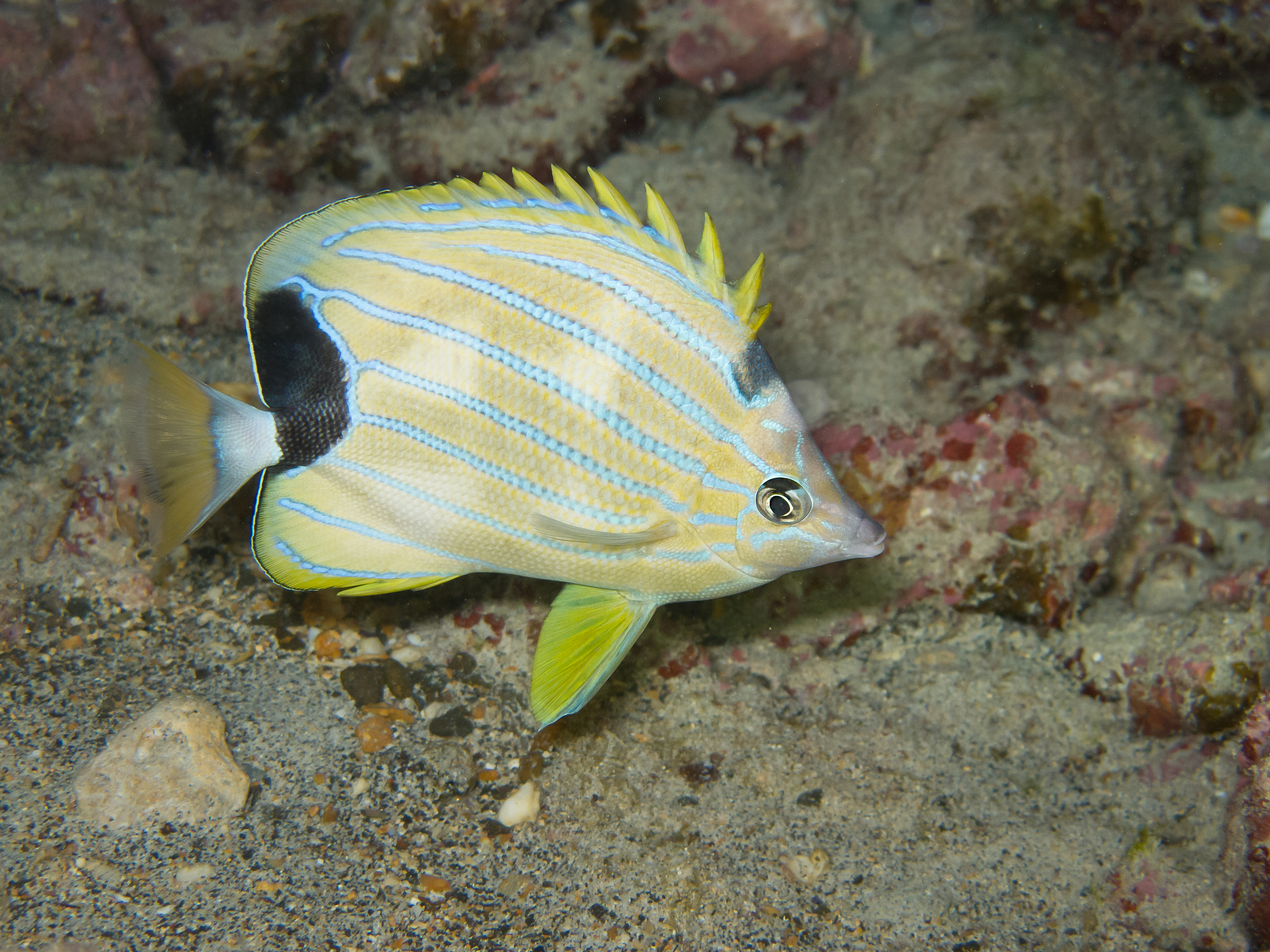 Blue Stripe Butterflyfish