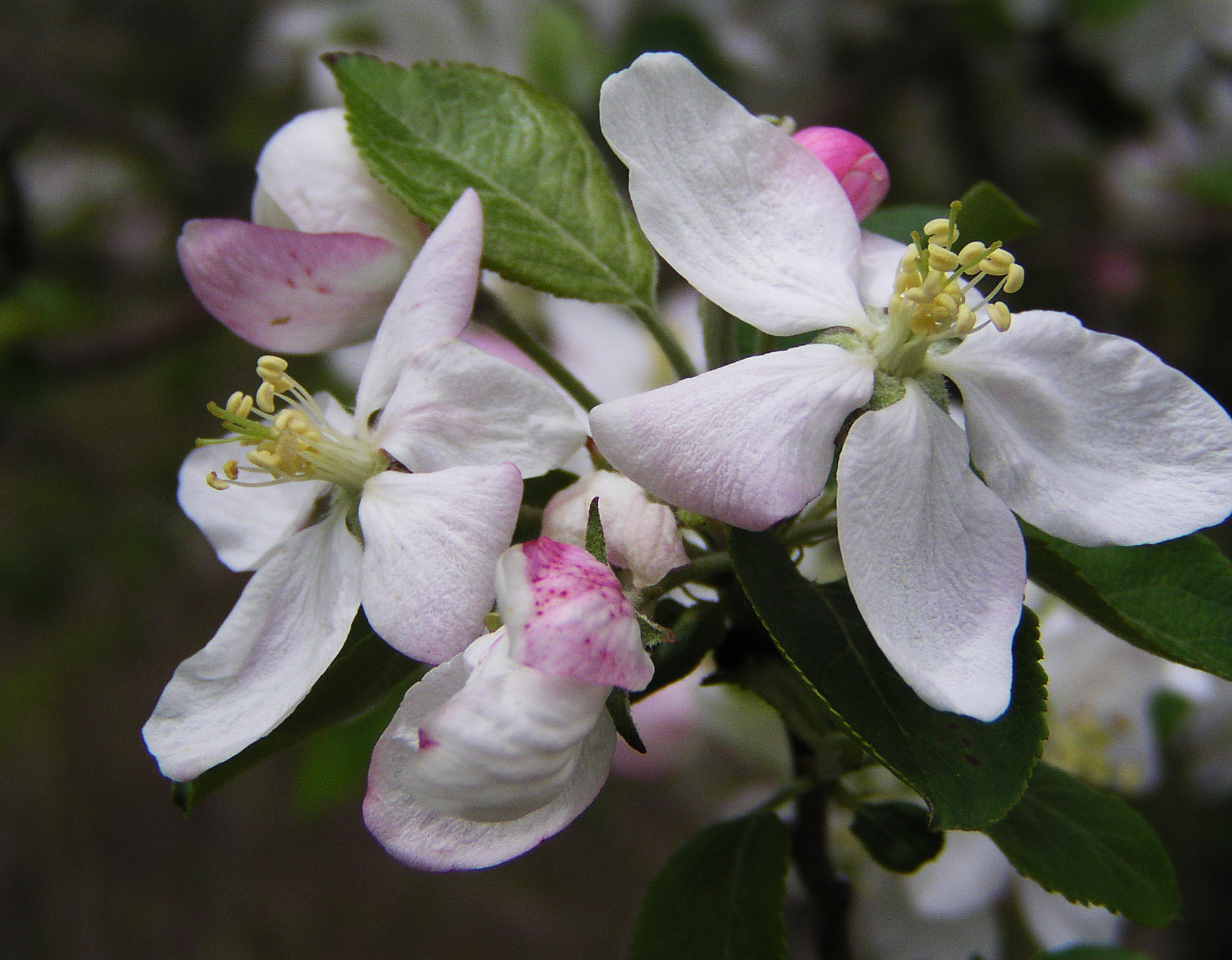 Apple blossoms at the woods edge