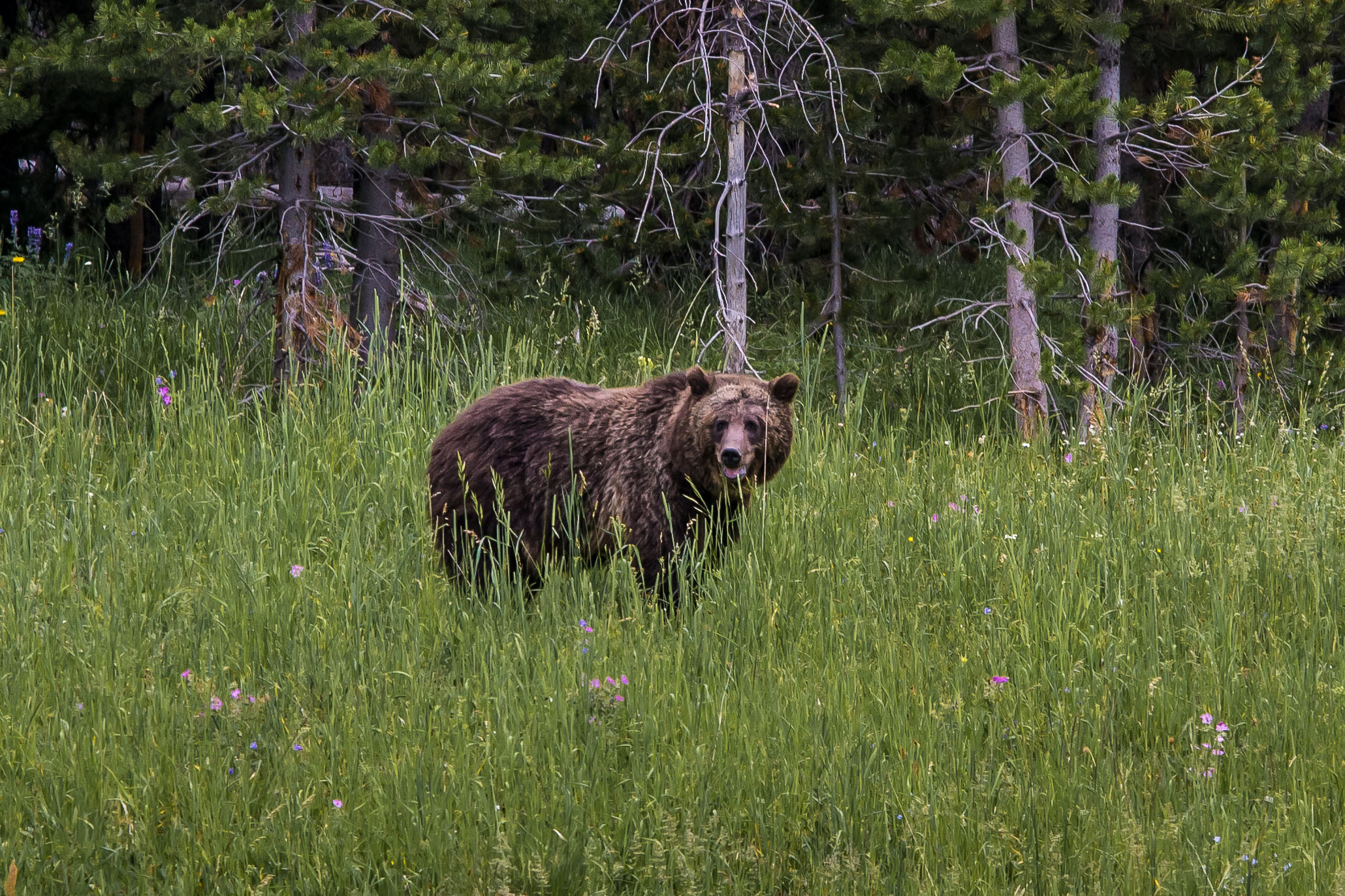 Mama Grizzly.  I am no nature photographer, so the short scampering cubs in the grass were beyond my reach.  She was a beauty and not to be messed with.