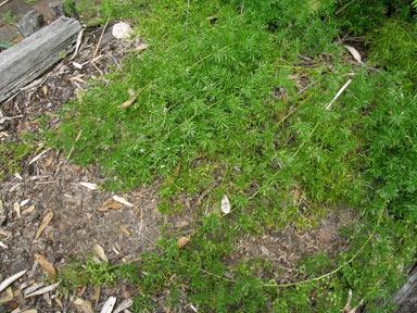 Asparagus aethiopicus  Australian Plant Image Index photo #dig10110