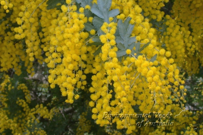 The Acacia baileyana or Cootamundra Wattle (pictured) is classified as a significant weed in Victoria and an emerging weed in most other parts of the country it is prohibited for distribution in the ACT
