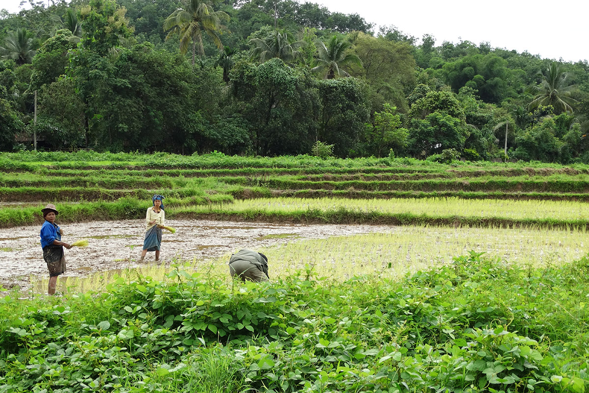 The locals in Fung Na working as dayworkers in a nearby rice paddy.