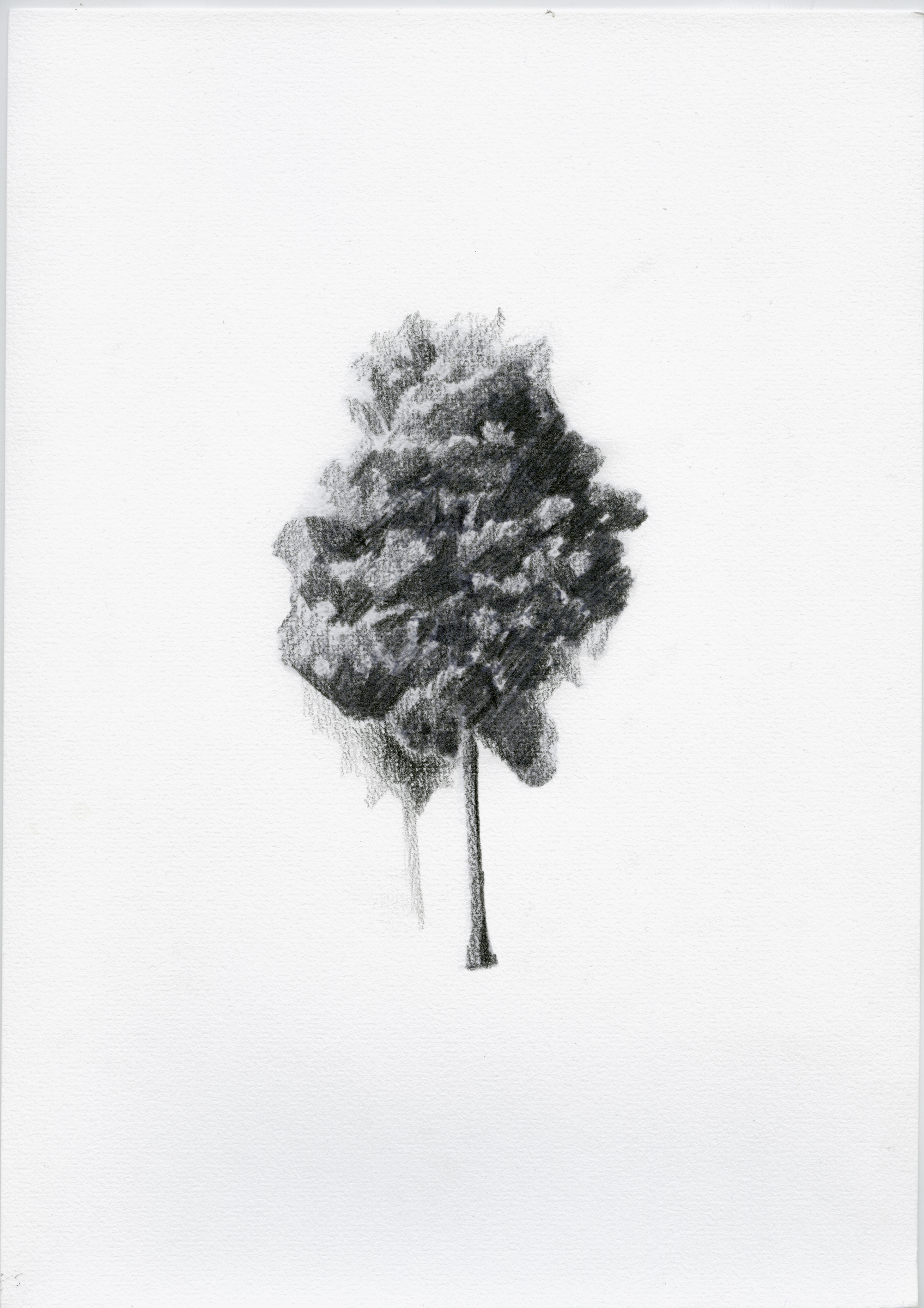 Kahikatea Study (Patetonga) II,   2017,  graphite on watercolour paper,  210mm x 297mm