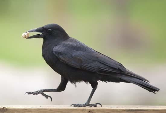 dreams.metroeve_crows-dreams-meaning.jpg