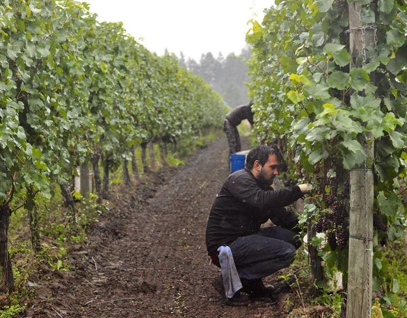 Picking Grapes.jpg