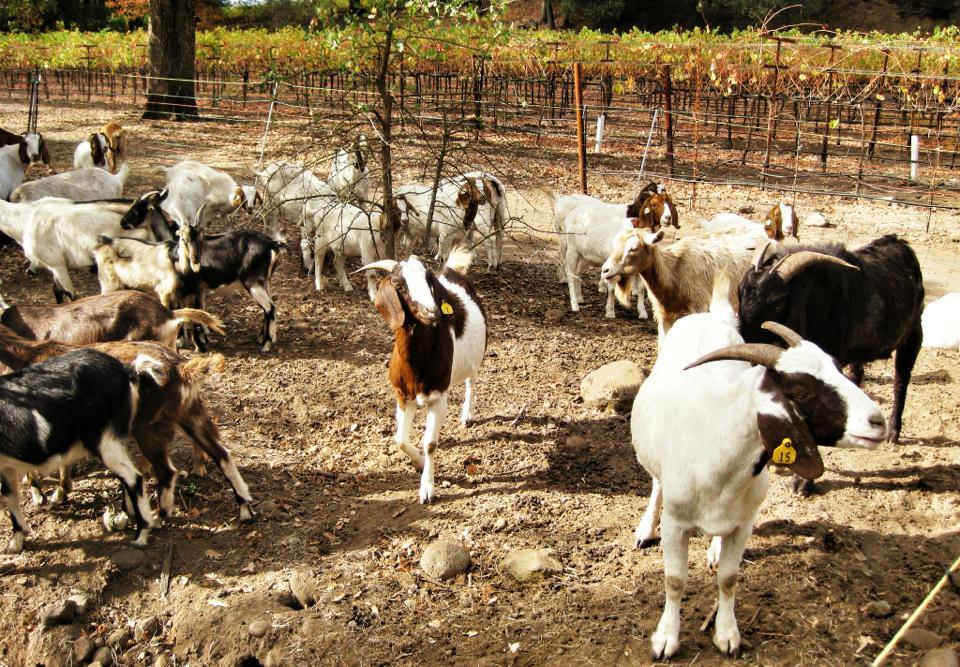 All natural weed killers - goats at Soda Creek Vineyards