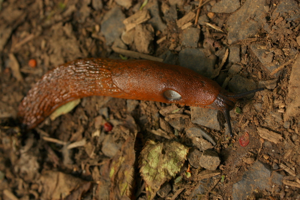 "I thought this slug was the victim of some kind of slug abuse but it turns out that hole is supposed to be there.  Per wikipedia: ""The pneumostome (or breathing pore) is a feature (the respiratory opening) of the external body anatomy of an air-breathing land slug."" This dude's was wide open so maybe he, too, was struggling up an incline while out of shape."