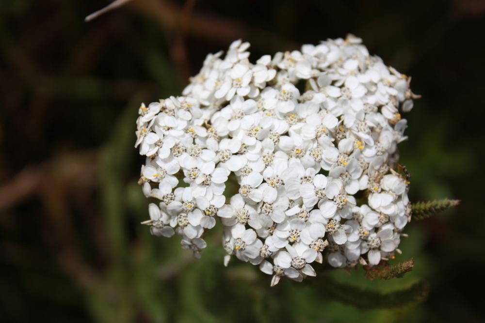 Yarrow ( Achillea millefolium)