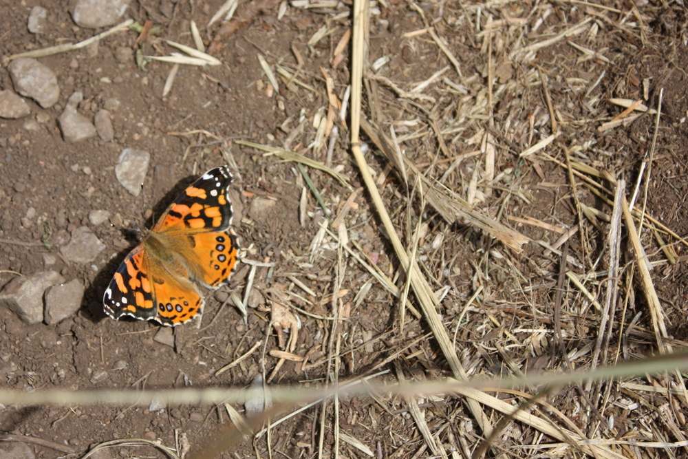 This Nature Conservancy area is a habitat for an endangered butterfly called the Oregon silverspot, and when I chased this guy down to take a picture, I thought maybe this was the one. It turns out it's a West Coast Lady (Vanessa annabella).