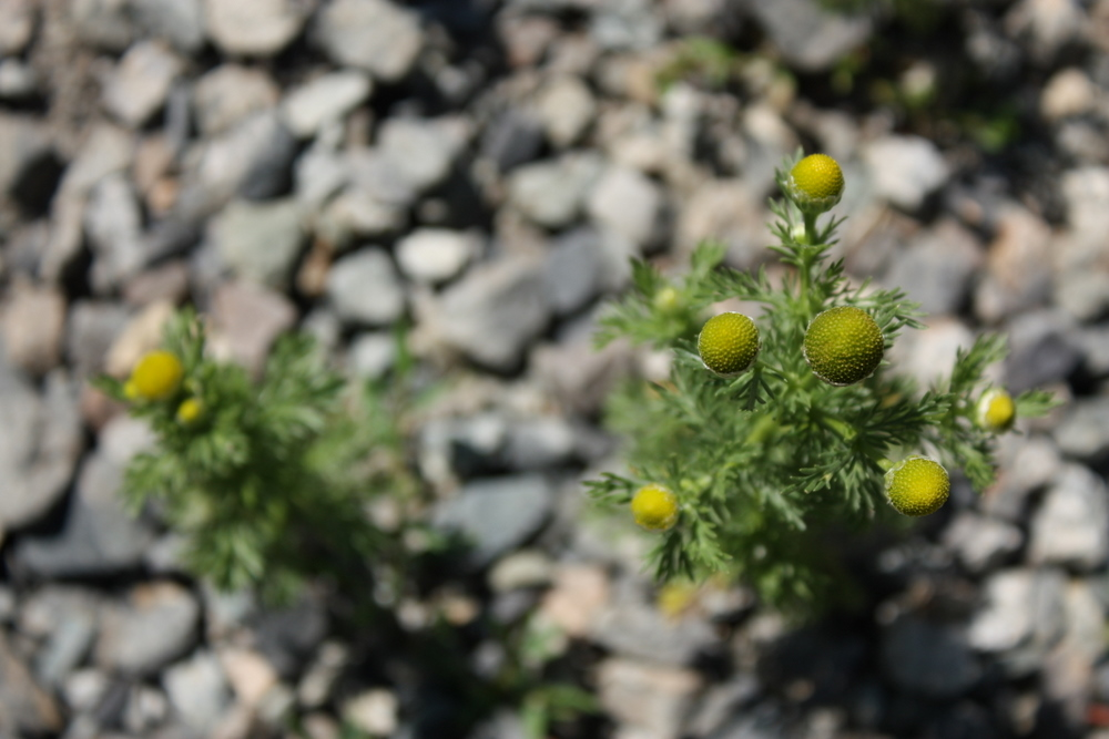I also learned from a fellow sorta forager: this is pineapple weed (Matricaria discoidea) and it smells exactly like pineapple. It's also hard to take a good photo of.