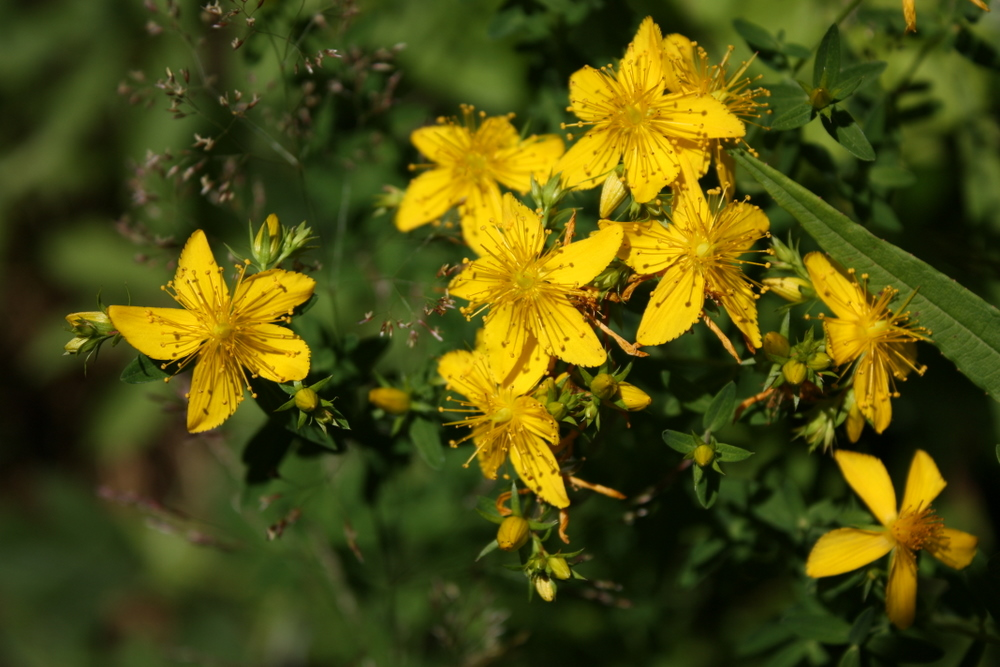 I was trying to take solid, pretty photos, but I still couldn't resist trying to identify more plants. I learned this is St. John's-wort.