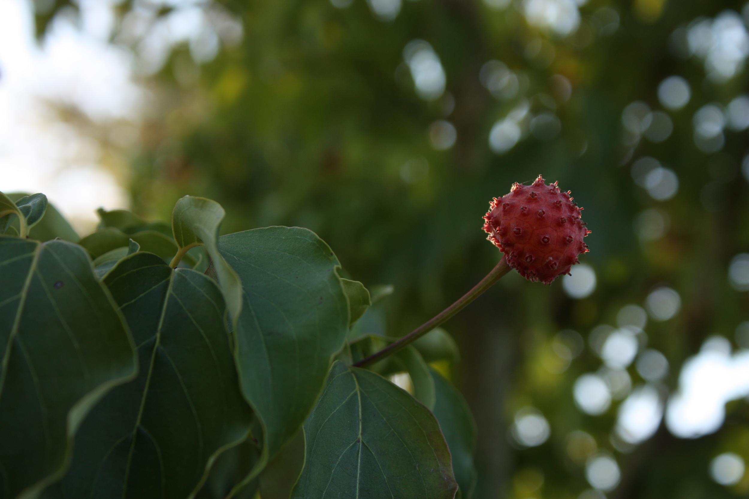 Kousa dogwood berry