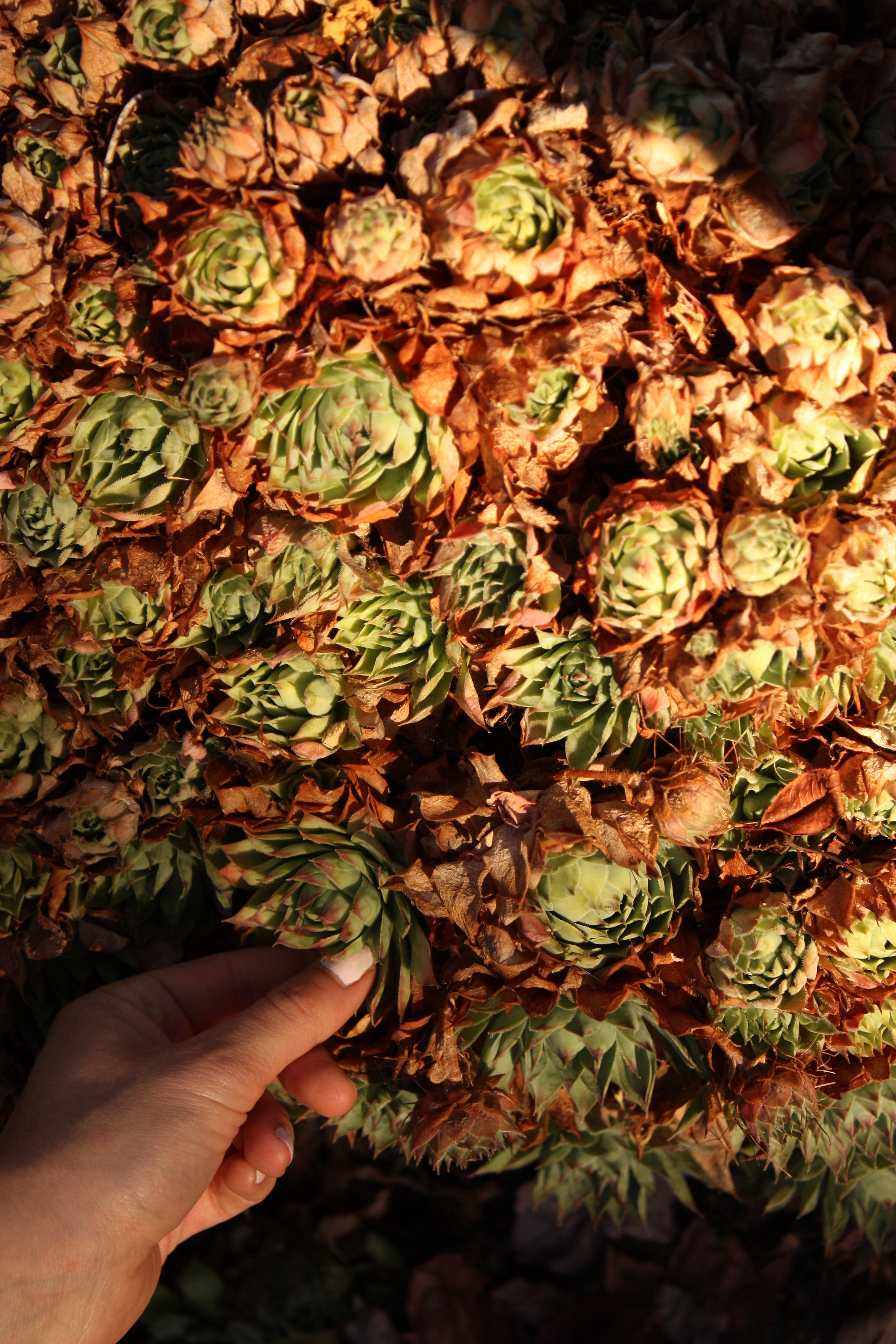 Hens and chicks. I never realized these were edible! I think they might be good in a stir-fry or sliced like nopal in a salad. Maybe even a quick pickle?  Here's Becky's post on them .