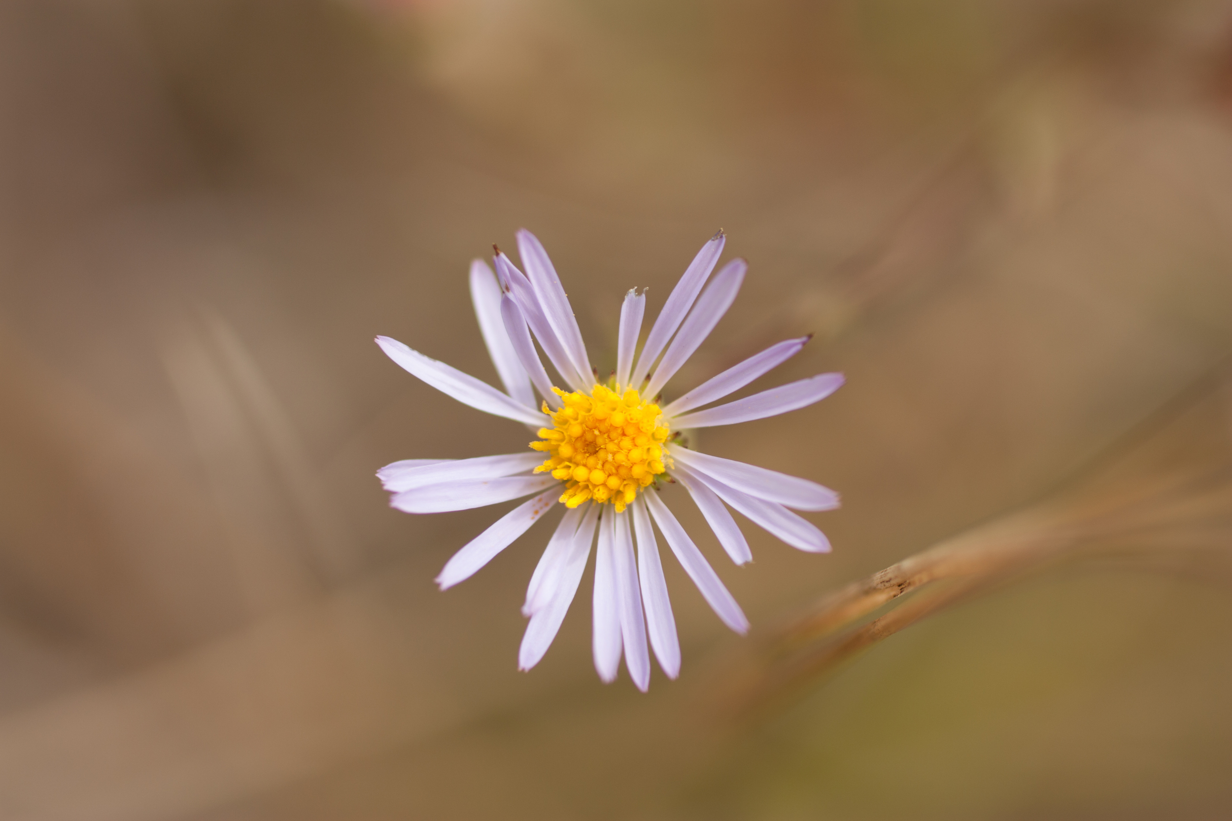 Aster of some sort