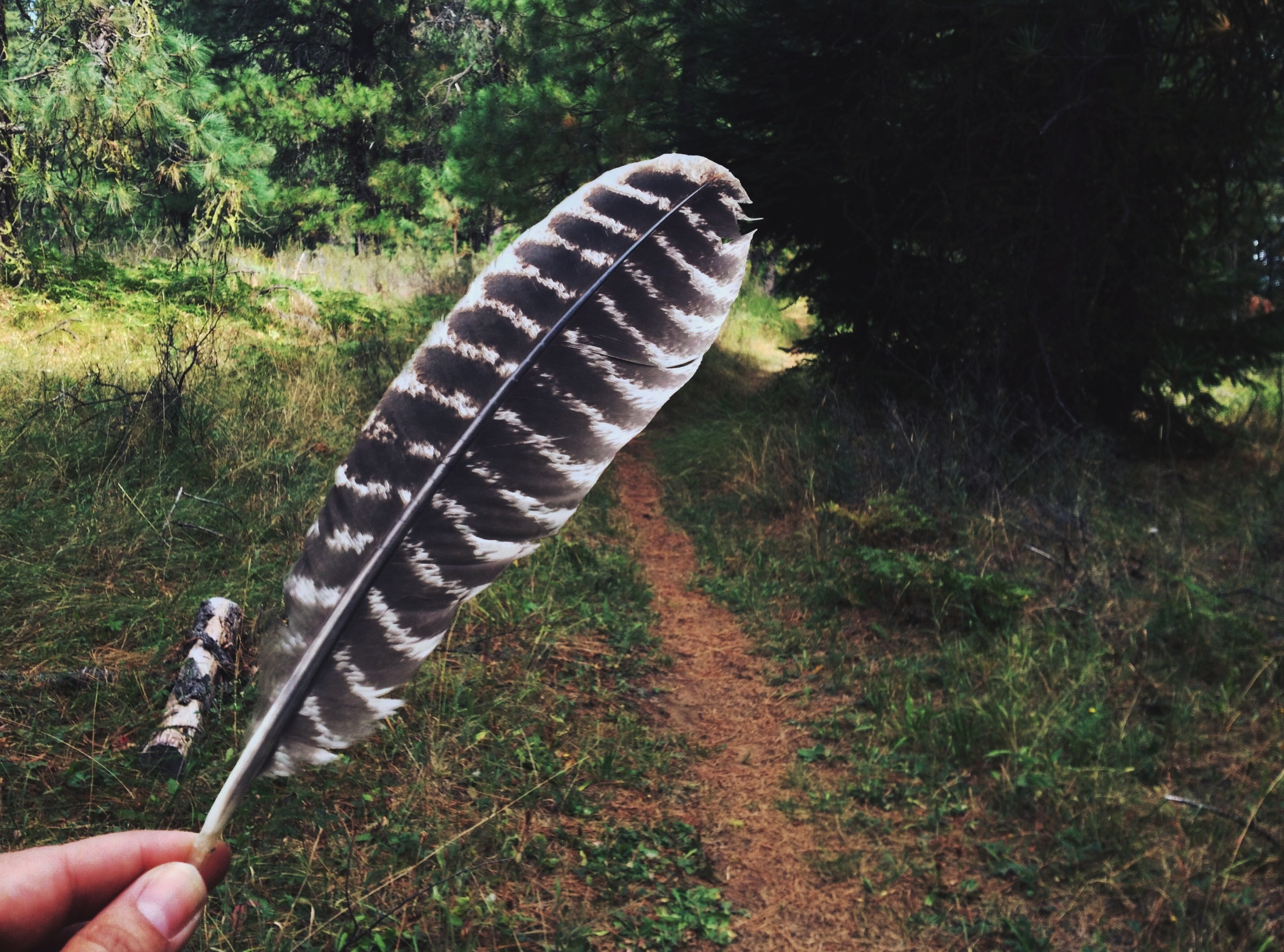 I just assume everything is a red-tailed hawk feather now. Right or wrong. It makes life simpler.