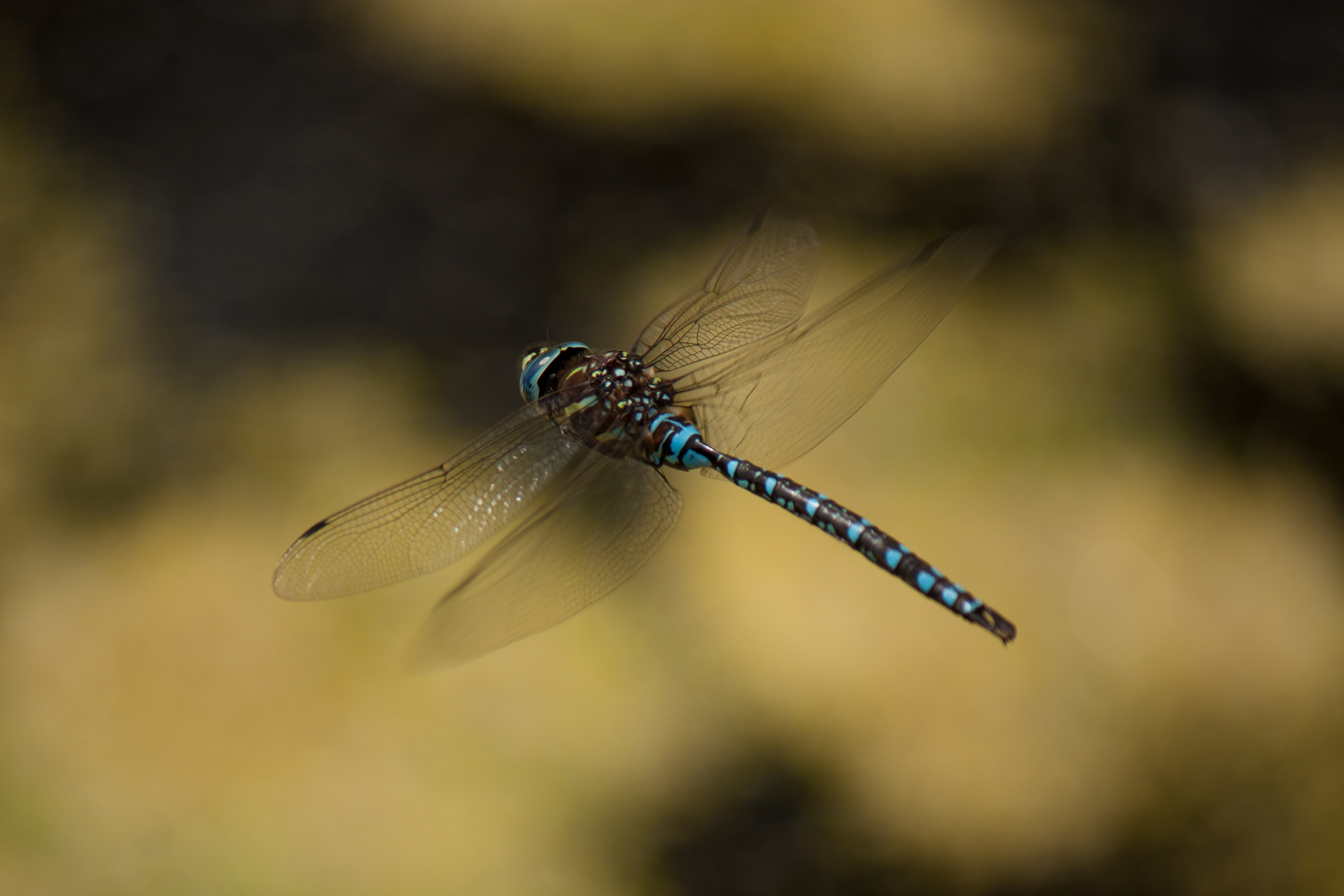 I think this is a blue darner? (Aeshnidae) Described as living over water (this was) and usually been seen in flight (yes again). I couldn't catch this guy landing anywhere. It spend a lot of its time chasing off other dragonflies. A combative life.