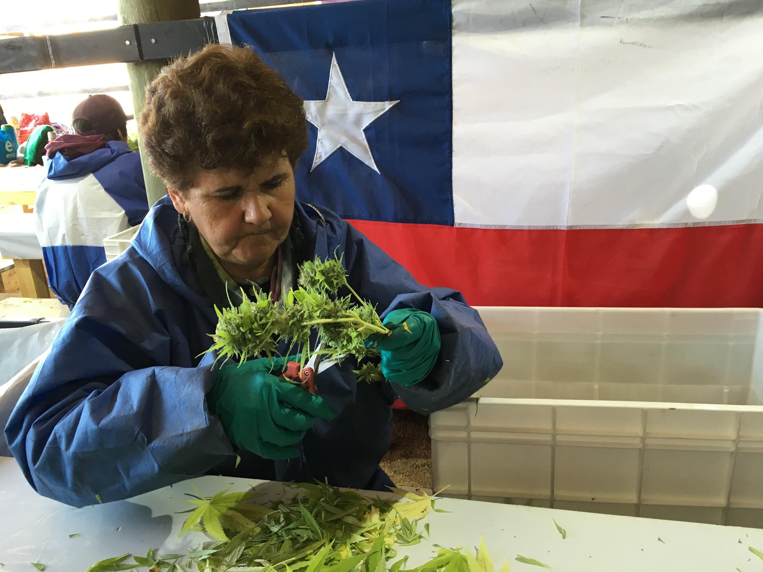 Uma trabalhadora da região de Colbún apara um ramo de cannabis