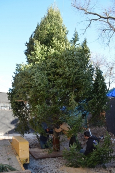 The 25-foot Christmas tree that has found its new home at 10 Wall Street in the Huntington village this holiday season!
