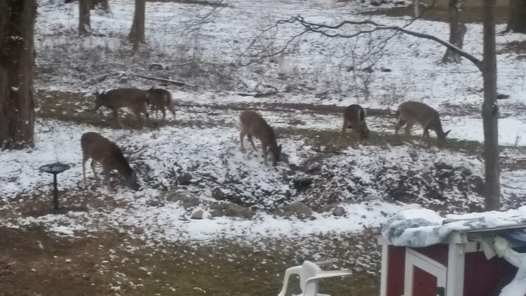 Deer gather on Eaton's Neck resident Edward Carr's yard last winter.