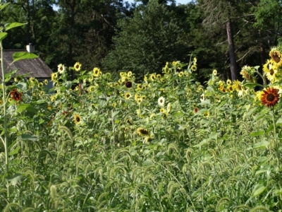 Thousands of sunflowers, some reaching 13 feet tall, cover nearly half an acre at Manor Farm.  Long Islander News photos/Connor Beach