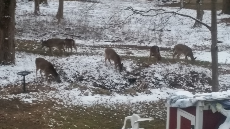 Deer gather on Eatons Neck resident Edward Carr's property in winter 2014.