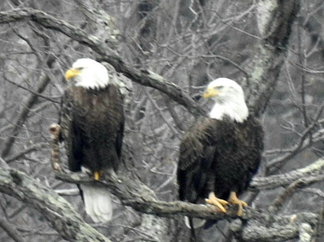 A pair of bald eagles has taken up residence in Centerport and is believed to be watching over eggs or eaglets in their nest.   (Photo/Bruce Adams)