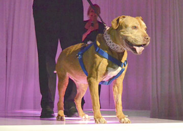 Miss Cleo, a light brown pitbull, came to Little Shelter at 16 years old from the Town of Huntington Animal Shelter, who found her as a stray.