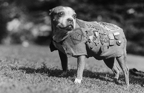 The legendary Sgt. Stubby proudly wears his medals on a coat sewed for him by the women of a grateful French village.
