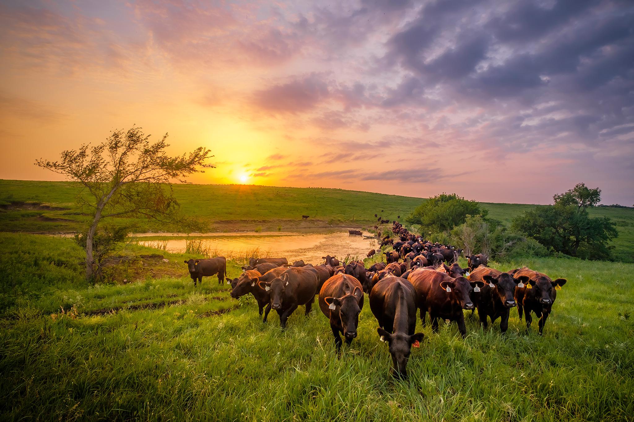 Cattle grazing the Flint Hills approach at sunset.