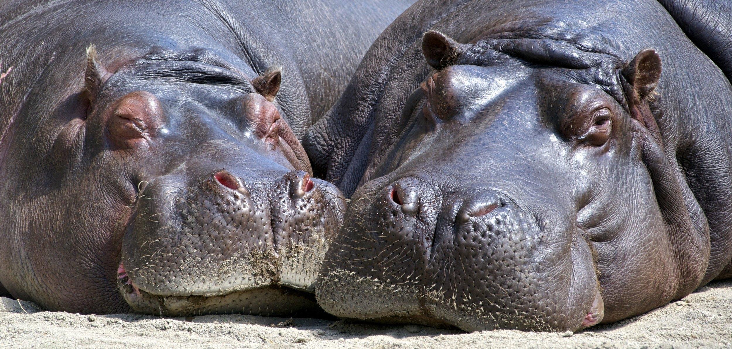 close-up-hippopotamuses-35995.jpg