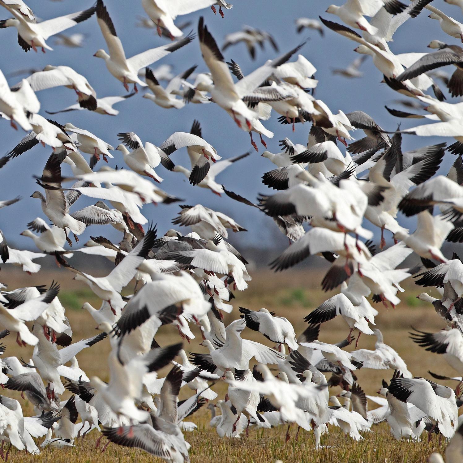 Snow Geese on the Prairie.
