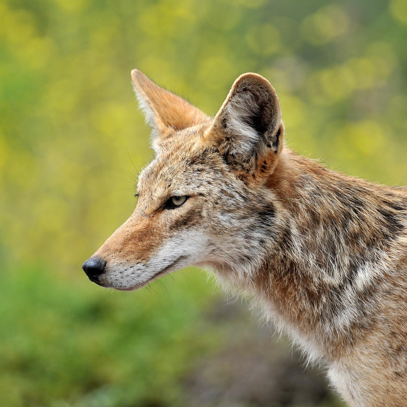 Coyote photo credit Matt Knoth.