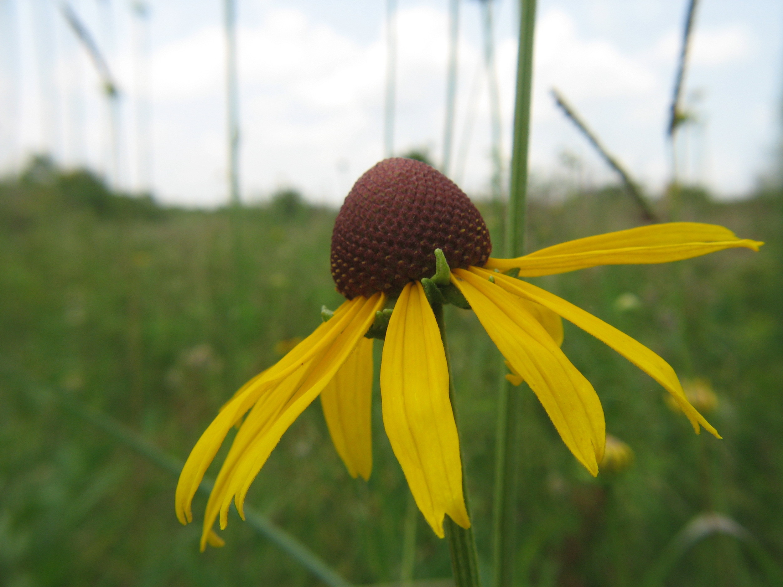 UnknownConeflower1_jgonzalez.jpg