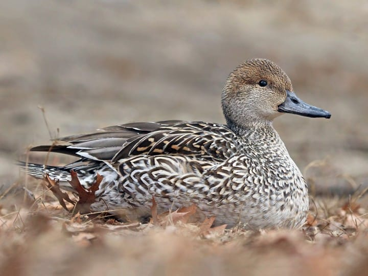 Nutritional Ecology of Female Northern Pintails Along the Texas Coast -