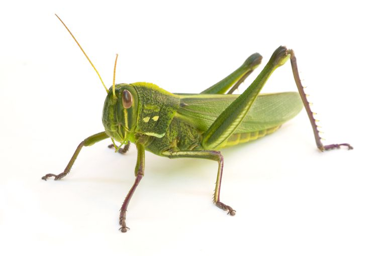 Role of Grasshopper Diversity in Rangeland Ecosystems -