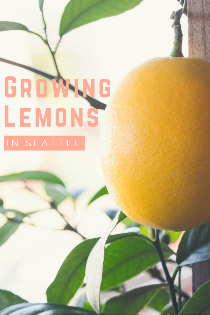 Meyer Lemon Tree | Growing Indoors| Seattle, WA
