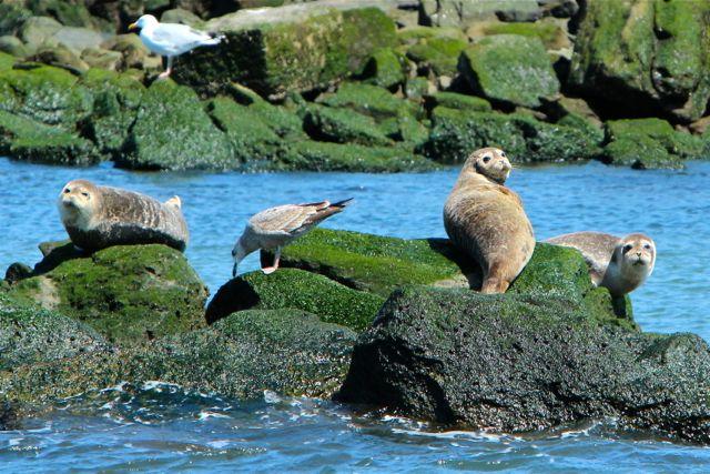 Harbor Seals in New York Harbor