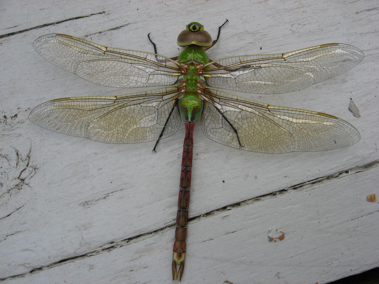 Dragonfly Sleeper