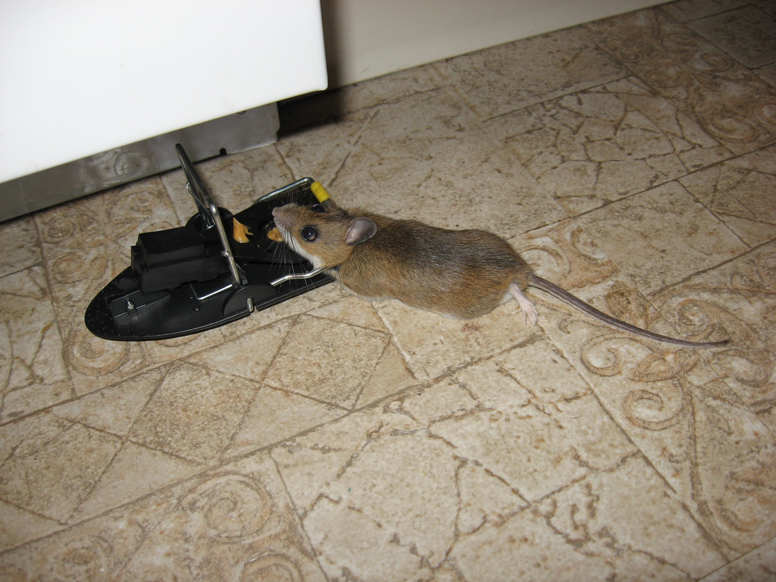 Bacon-loving dead mouse!