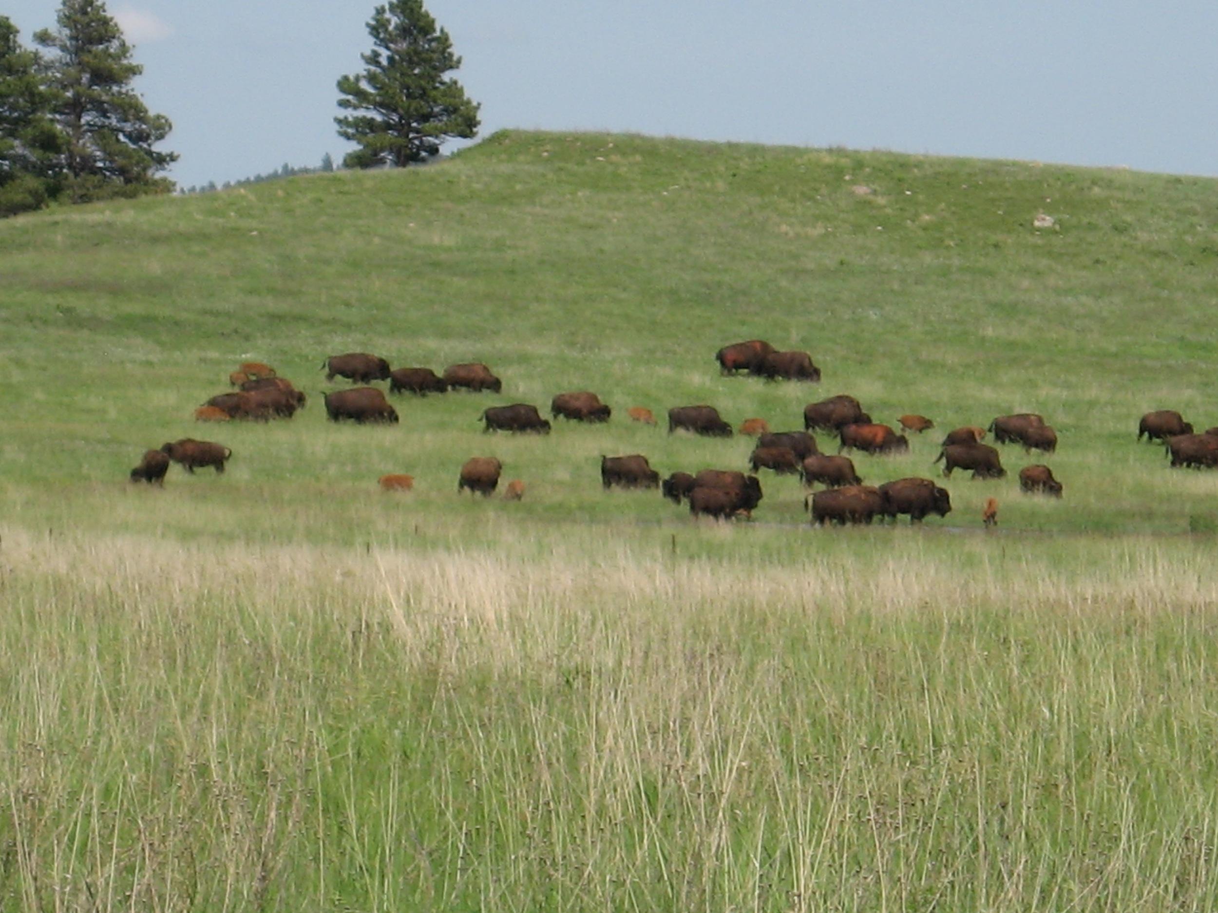 Bison Bison!