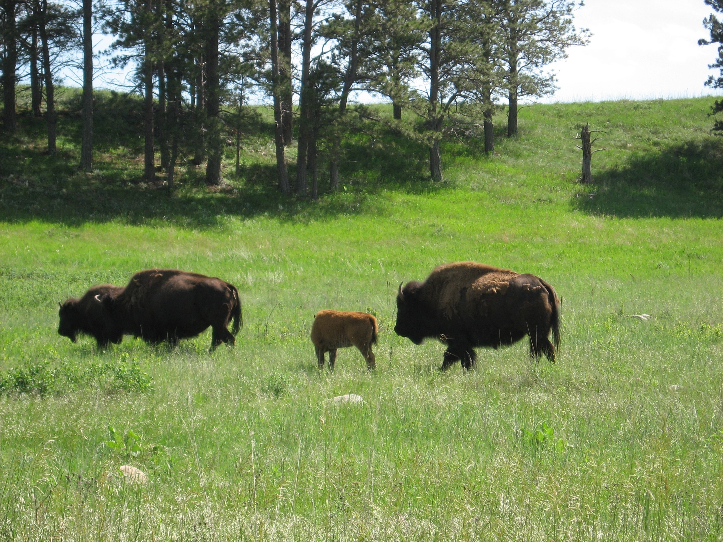 More Baby Bison