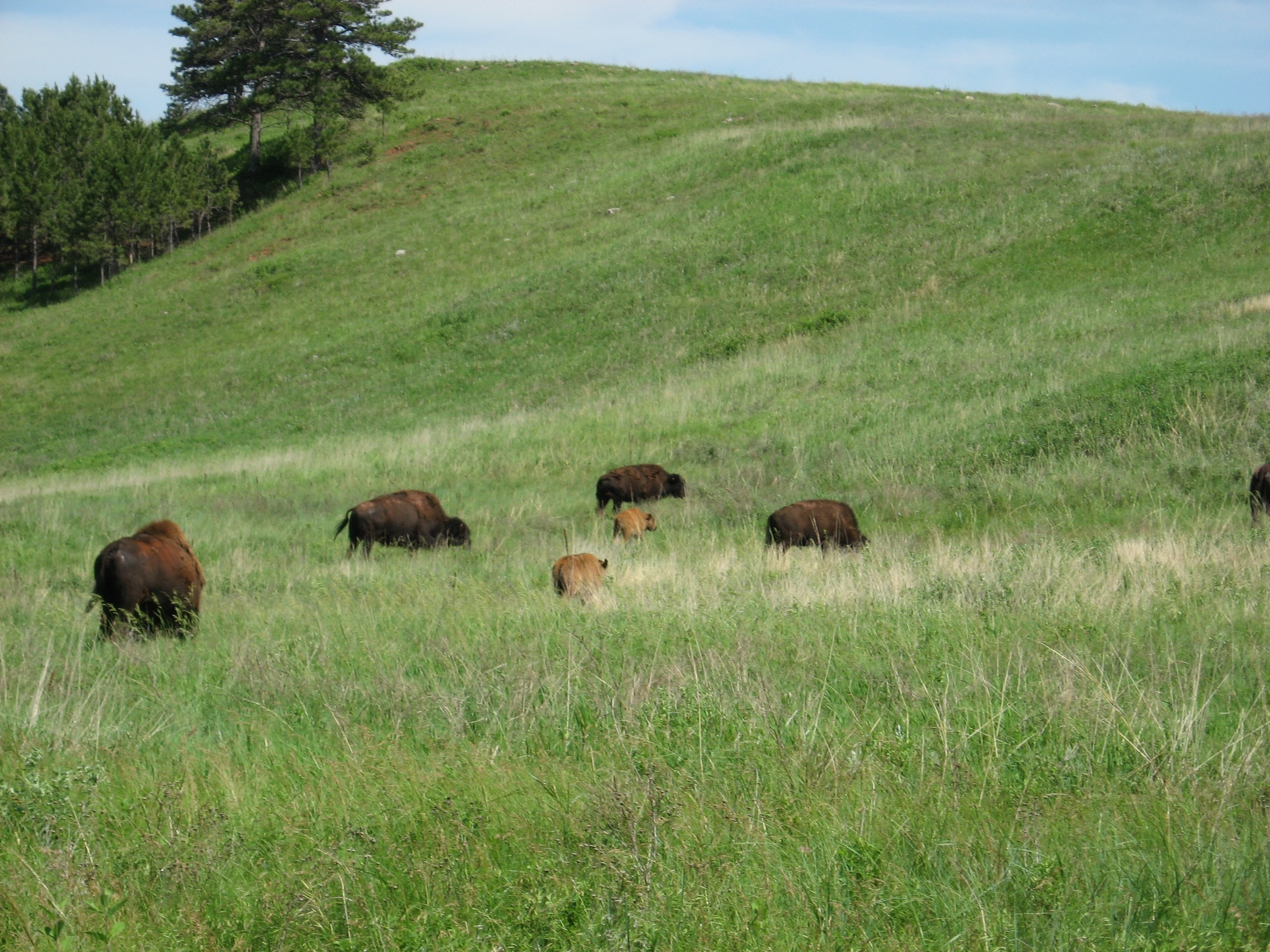 With Baby Bison