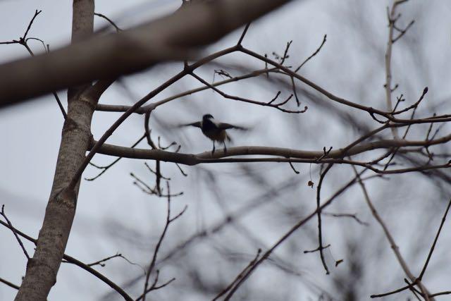 Chickadee Takeoff!