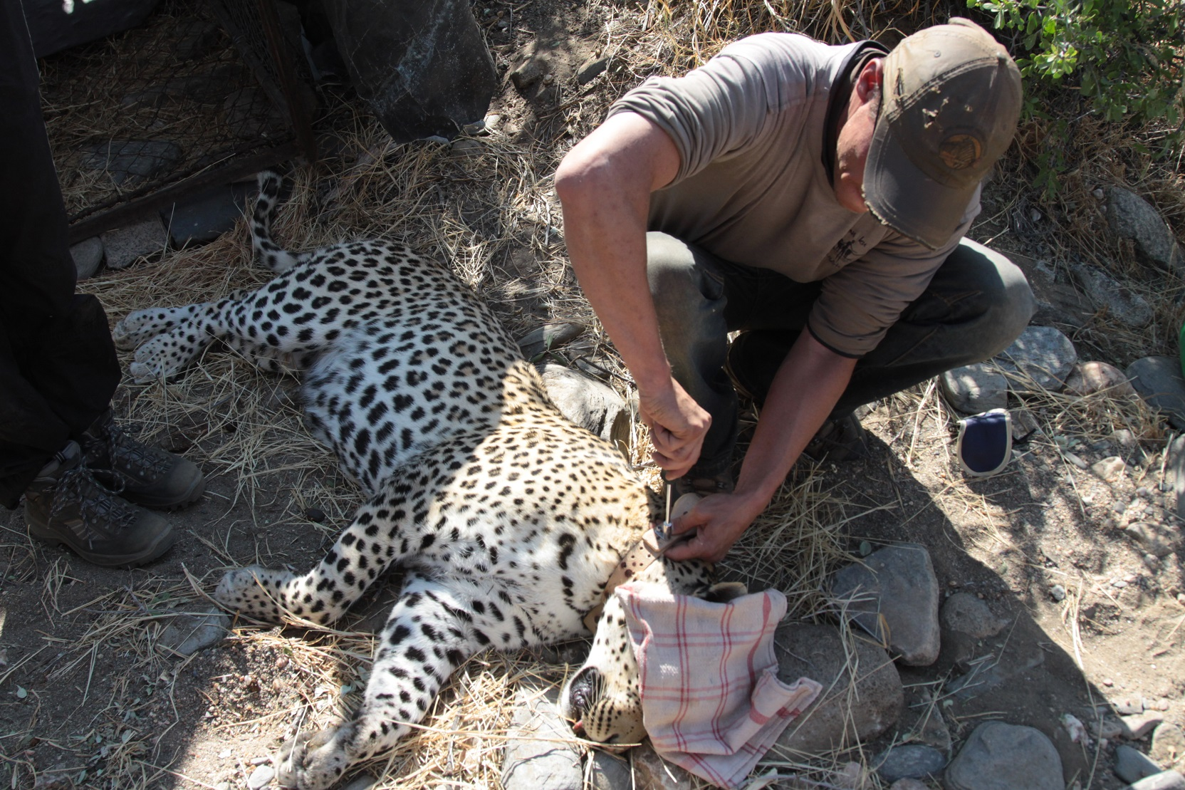 Our leopard being collared