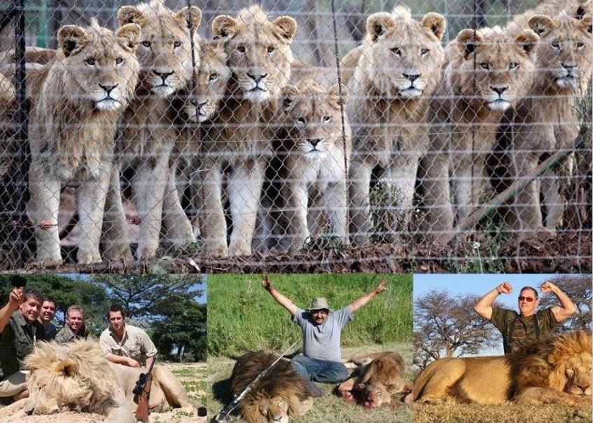This image brings me pain, both the sad look in the lions' eyes and the losers below celebrating the death of such magnificent animals.