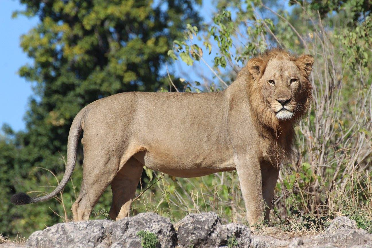 Male lion in Chobe National Park, Botswana